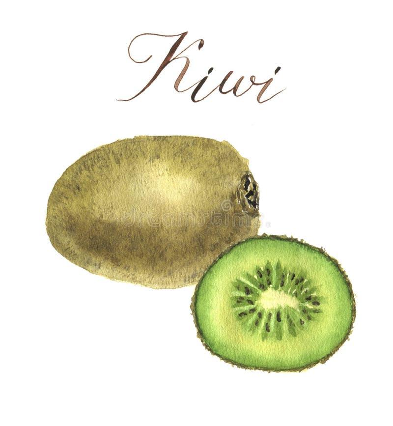 Kiwi d'aquarelle Illustration d'isolement tirée par la main botanique illustration de vecteur