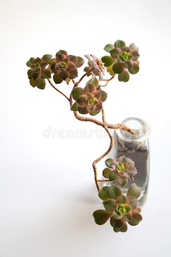 Kiwi del Aeonium suculento en la botella de cristal imagen de archivo libre de regalías
