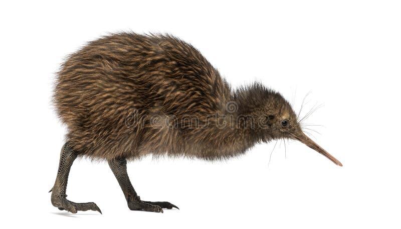 Kiwi du nord de Brown d'île, mantelli d'Apteryx, 3 mois photo stock