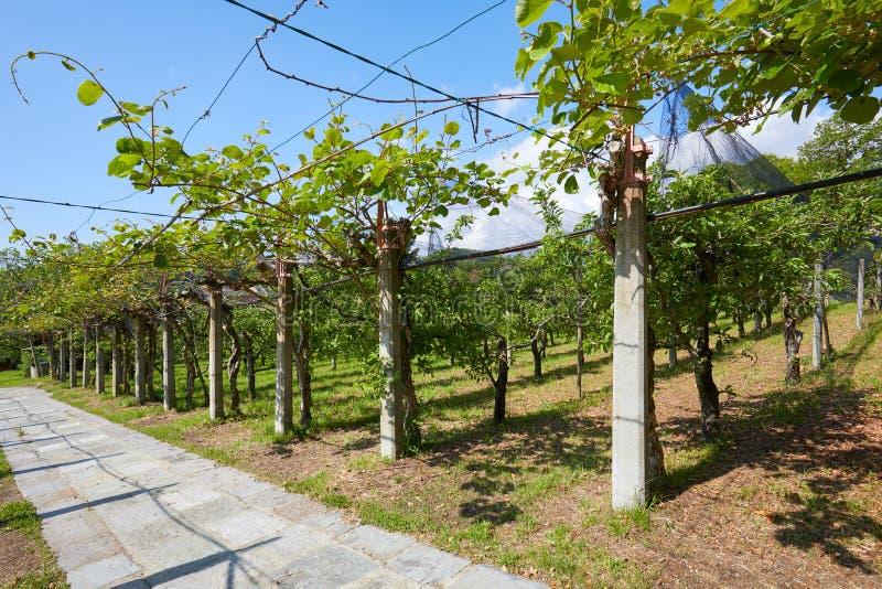 Kiwi et chemin carrelé de champ de pommiers et en pierre dans un jour d'été, Italie image libre de droits