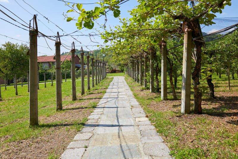 Kiwi et chemin carrel? de champ de pommiers et en pierre dans un jour ensoleill?, perspective photo stock