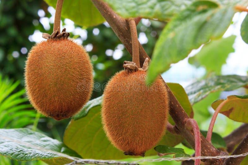 Download Kiwi stock image. Image of ripe, closeup, exotic, brown - 32363601