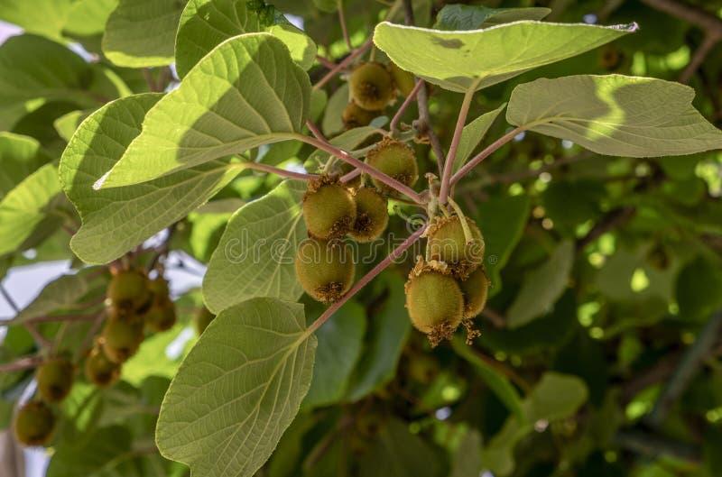 Kiwi Fruit, Actinidia deliciosa stockfotos