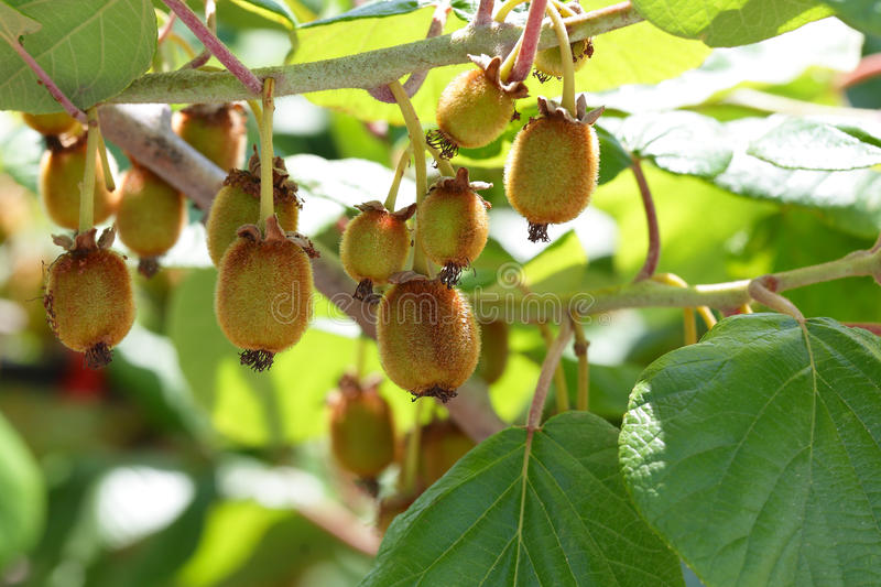 Kiwi Fruit - Growth Stock Photography