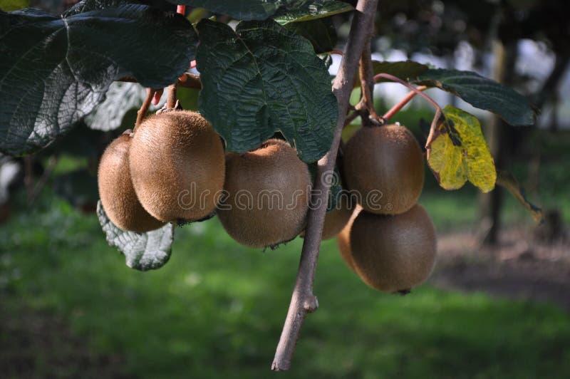 Kiwi Fruit kinesiskt krusbär som växer på vinrankan royaltyfria bilder