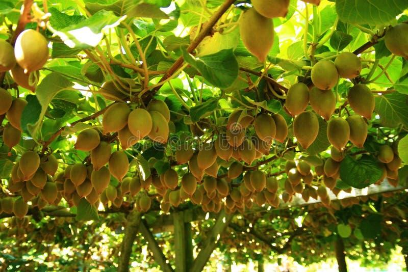 Kiwi fruit on tree stock image. Image of appetizing, close ...