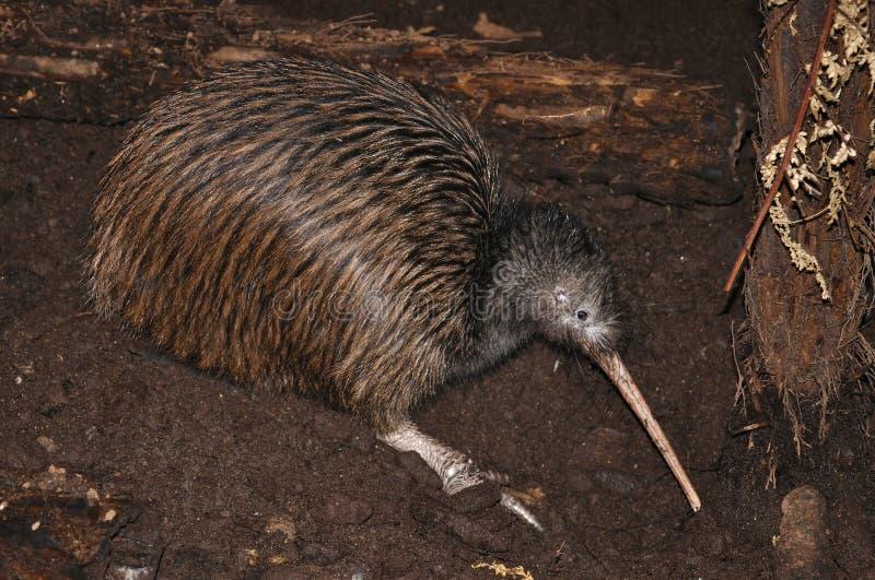 Kiwi het zoeken stock foto
