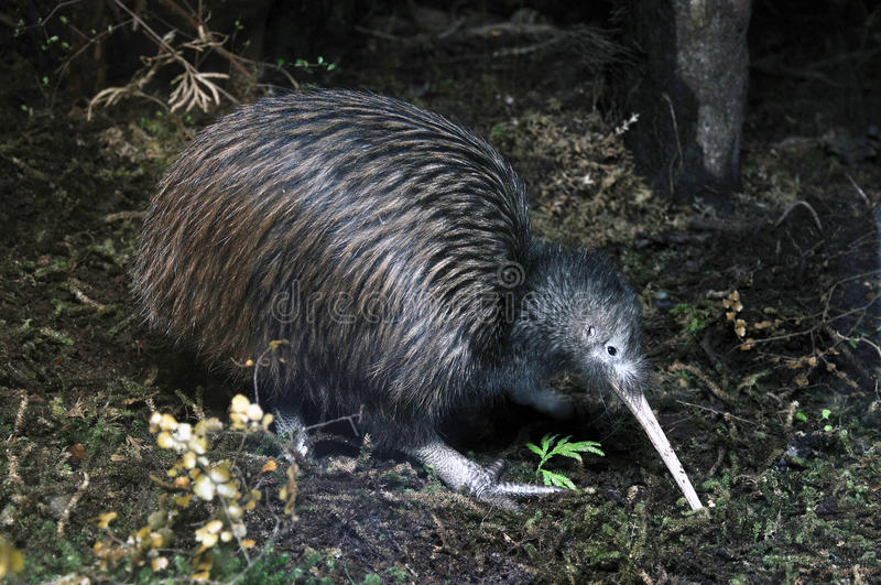 Kiwi het zoeken royalty-vrije stock afbeeldingen