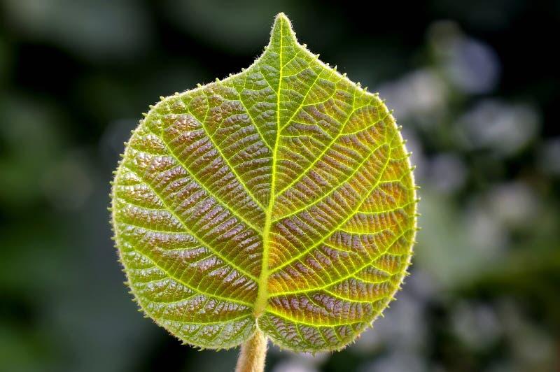 Kiwi leaf stock images