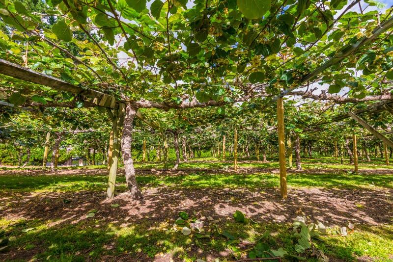Kiwi owocowego sadu Północna wyspa Nowa Zelandia fotografia stock