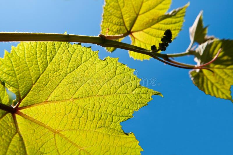 kiwi owocowy winograd fotografia royalty free