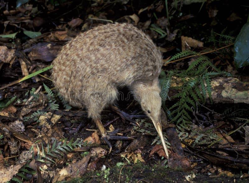 Kiwi repéré peu photographie stock