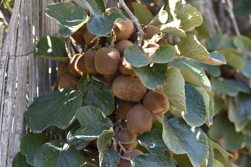 Kiwi ripening cottage in Lanjaron. Bunch of kiwi ripening on the tropical coasts of Granada stock images