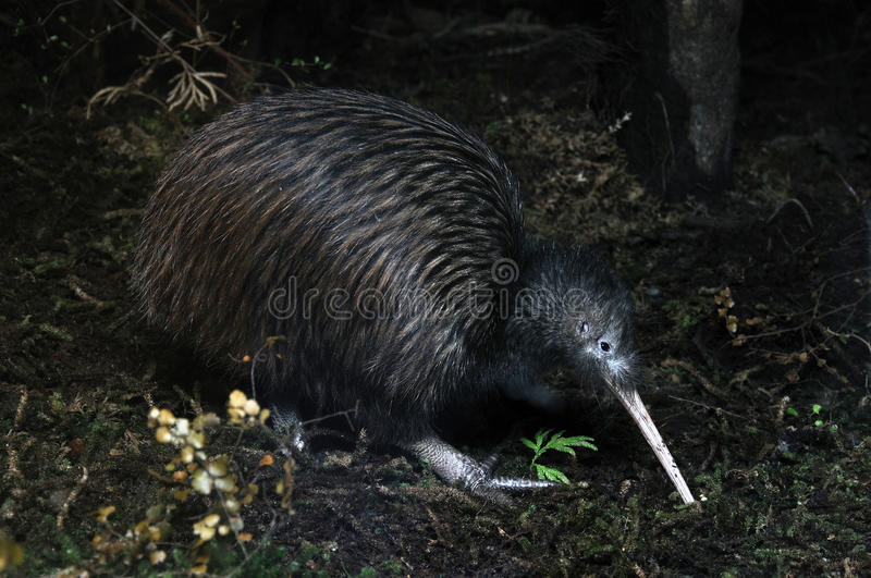Kiwi searching. North Island brown kiwi, Apteryx australis, New Zealand