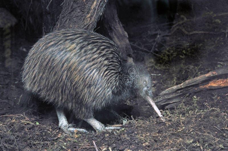 Kiwi in struik stock afbeelding
