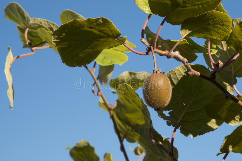 Kiwi at tree. Single, mellow kiwi at a tree in font of blue sky royalty free stock photography