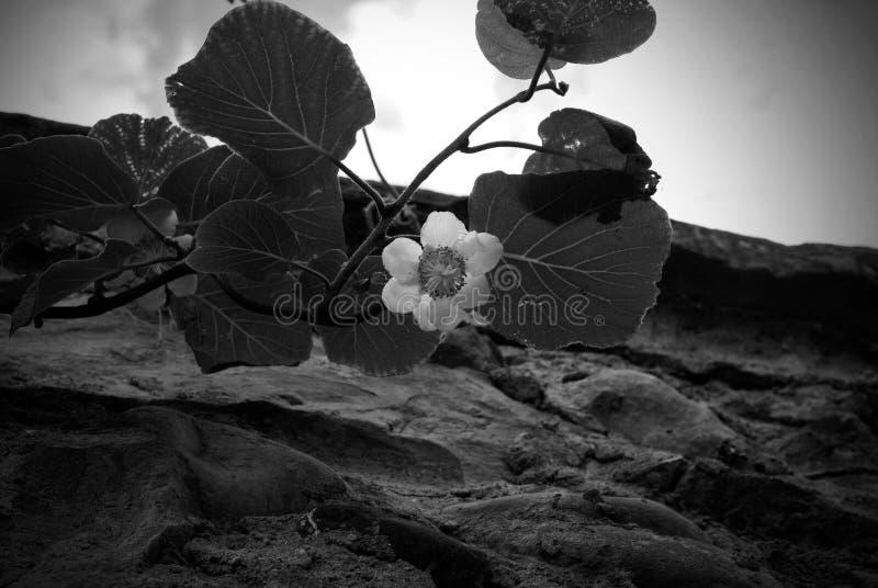 Kiwibloem die dichtbij aan een stenenmuur op de blauwe hemel met wolkenachtergrond bloeien royalty-vrije stock foto