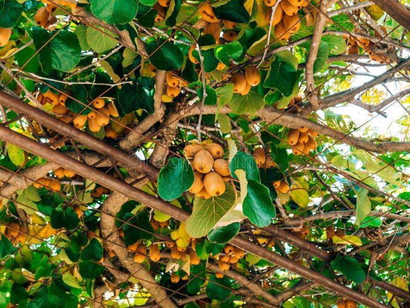 Kiwifruit na drzewie Liana drzewny kiwi unosi się na gronowym Arbo zdjęcia stock