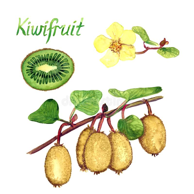 Kiwifruit rozgałęzia się z dojrzałymi owoc, żeńscy kwiaty, rżnięta połówka ilustracji