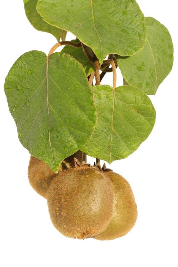 Download Kiwis stock photo. Image of fruits, background, leaves - 25537728