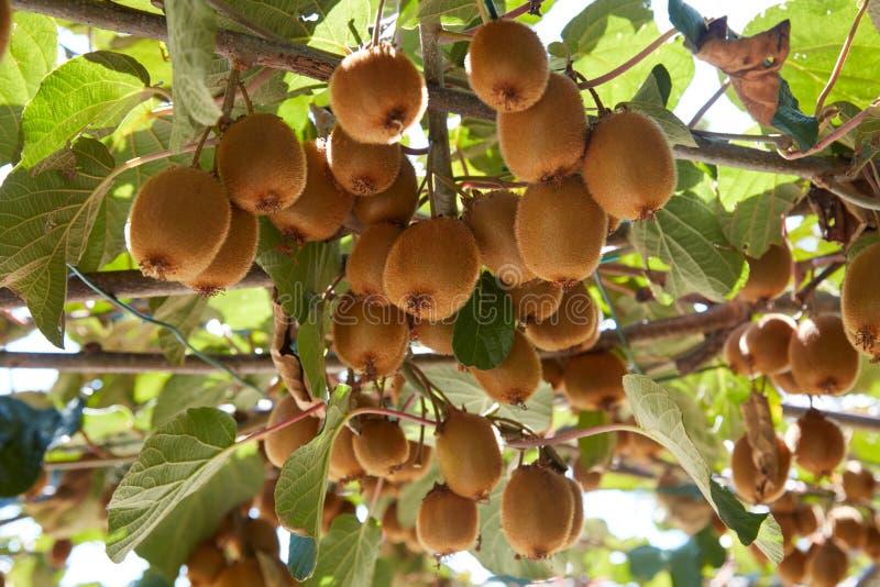 Kiwis et plantes, culture dans un jour ensoleillé photo stock