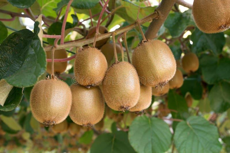 Kiwis frais Actinidia de kiwi photographie stock