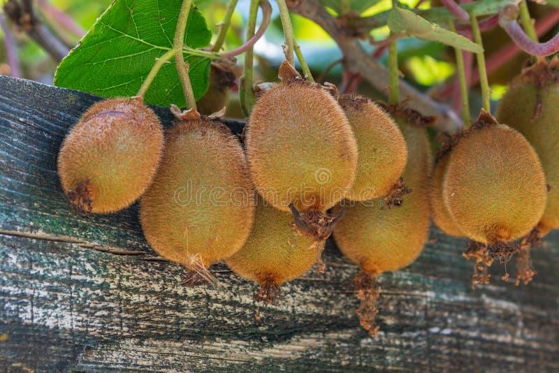 Kiwis maduros jugosos en un árbol con un tablero de madera imagen de archivo libre de regalías