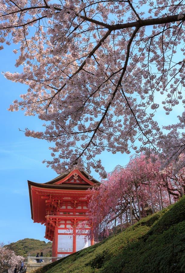 Kiyomizu tempel och körsbärsröd blomning i Kyoto arkivbilder