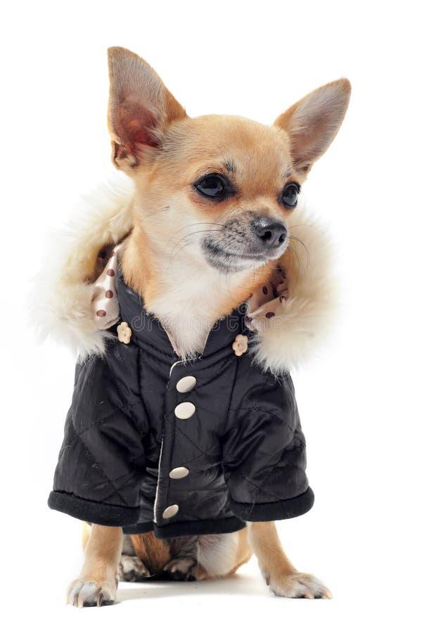 klädd chihuahua royaltyfri fotografi