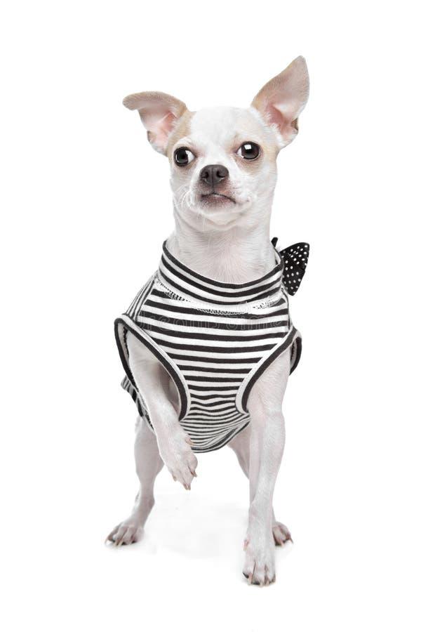 klädd chihuahua arkivfoto