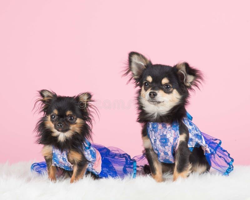 Klädd chihuahuahundkapplöpning royaltyfria bilder