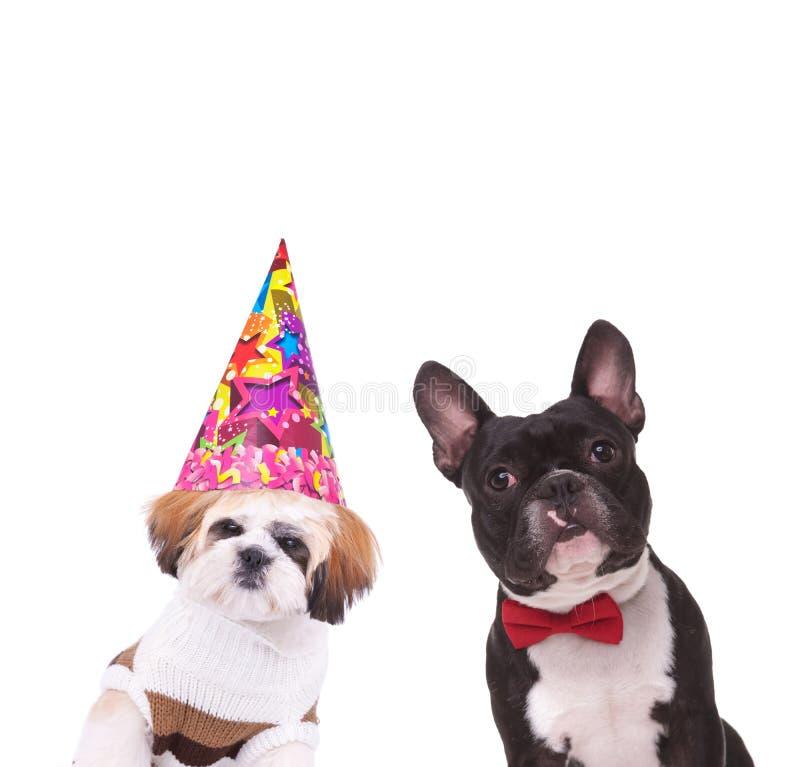Klädd shihtzu och fransk bulldogg som är klara att festa royaltyfria foton