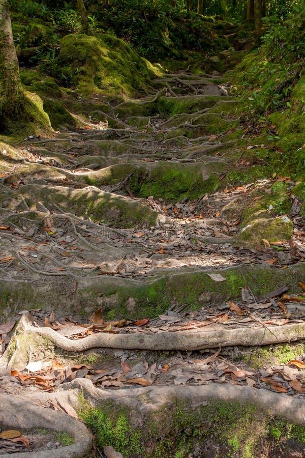 Klättra trappan från rotar i barrskogen royaltyfria foton