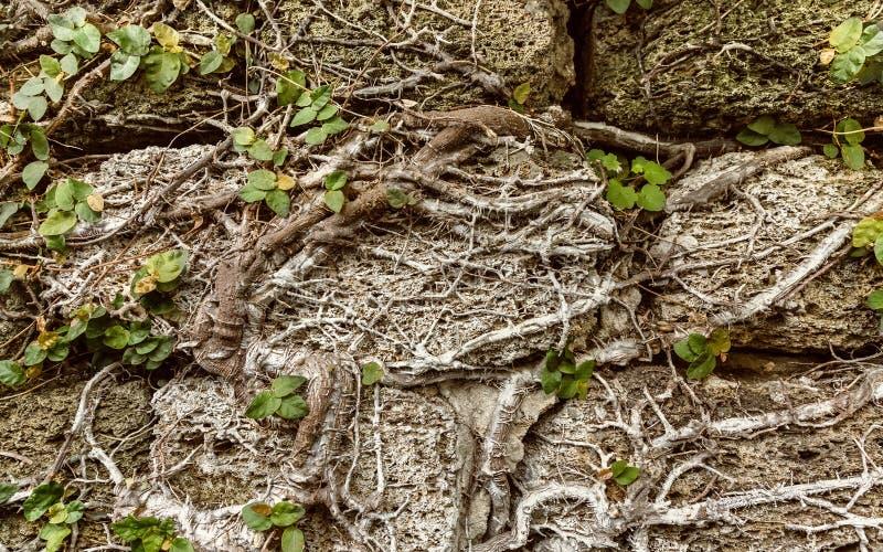 Klättra växter på den grungy stenväggen Naturlig bakgrund och tex royaltyfri bild