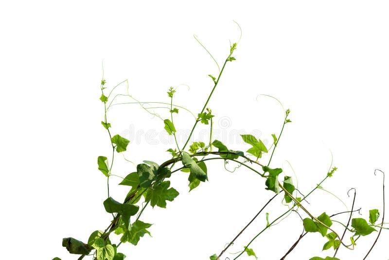 Klättring för vinrankaväxt som isoleras på vit bakgrund arkivfoton