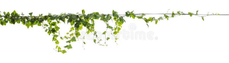 Klättring för vinrankaväxt som isoleras på vit bakgrund arkivbilder