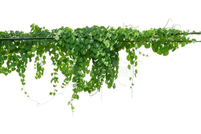 Klättring för vinrankaväxt som isoleras på vit bakgrund Snabb bana arkivbilder