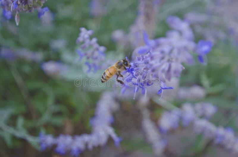 Klättringen för upptaget bi på de purpurfärgade blommorna royaltyfria foton