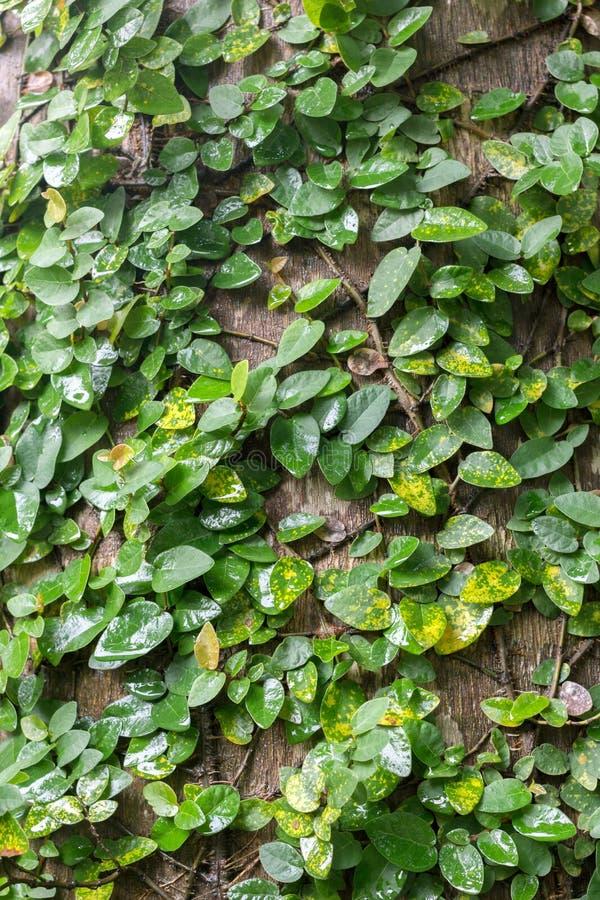 klättringfikonträd som slås in runt om träd i den tropiska regnskogen royaltyfri fotografi