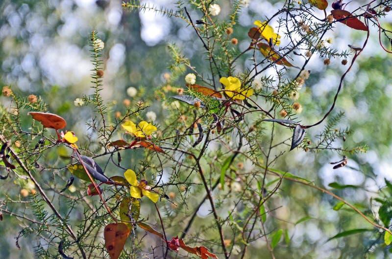 KlättringGuinea blomma som flätas ihop runt om Wattle royaltyfria foton