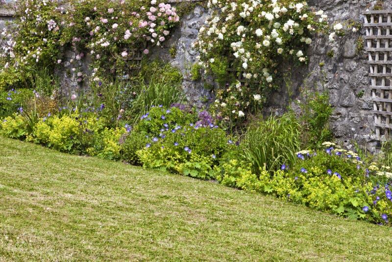 Klättringrosor på spaljé i en walled stuga arbeta i trädgården royaltyfria foton