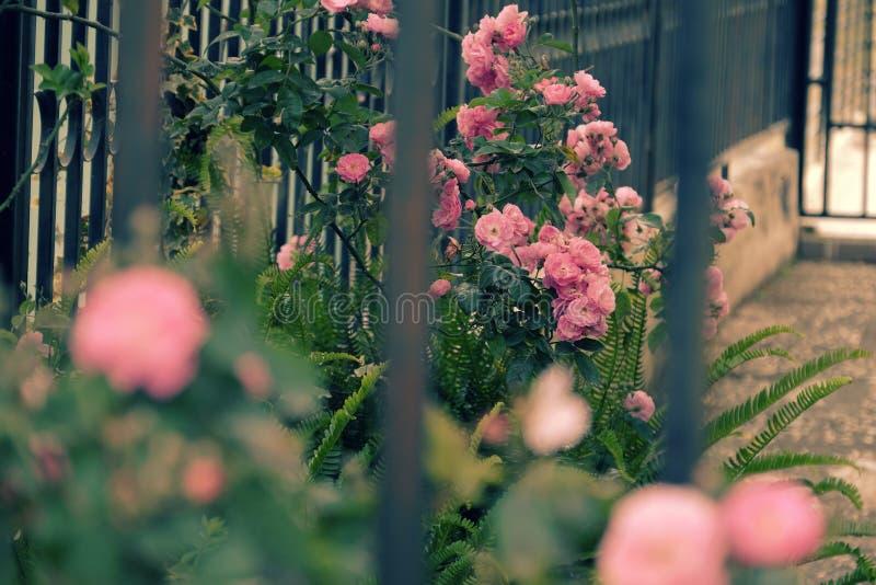 Klättringrosspaljé, härlig staketframdel av huset arkivfoton