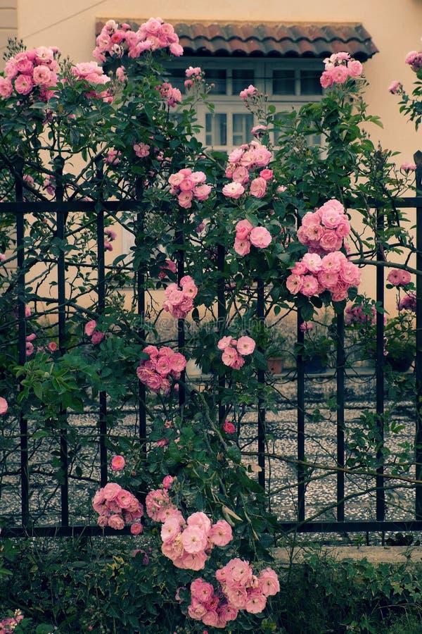 Klättringrosspaljé, härlig staketframdel av huset royaltyfri fotografi