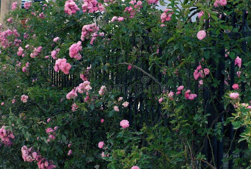 Klättringrosspaljé, härlig staketframdel av huset fotografering för bildbyråer