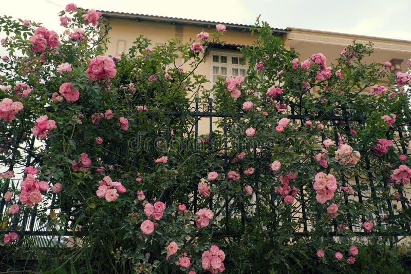 Klättringrosspaljé, härlig staketframdel av huset royaltyfri foto