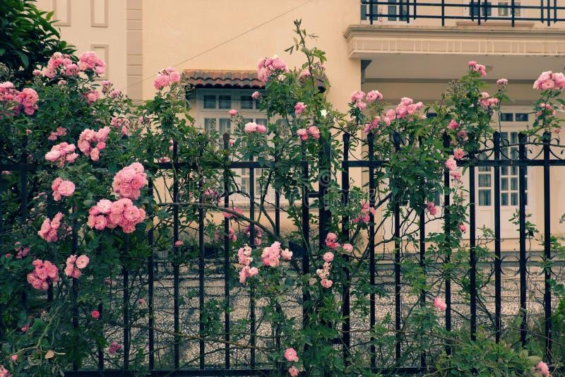 Klättringrosspaljé, härlig staketframdel av huset royaltyfri bild