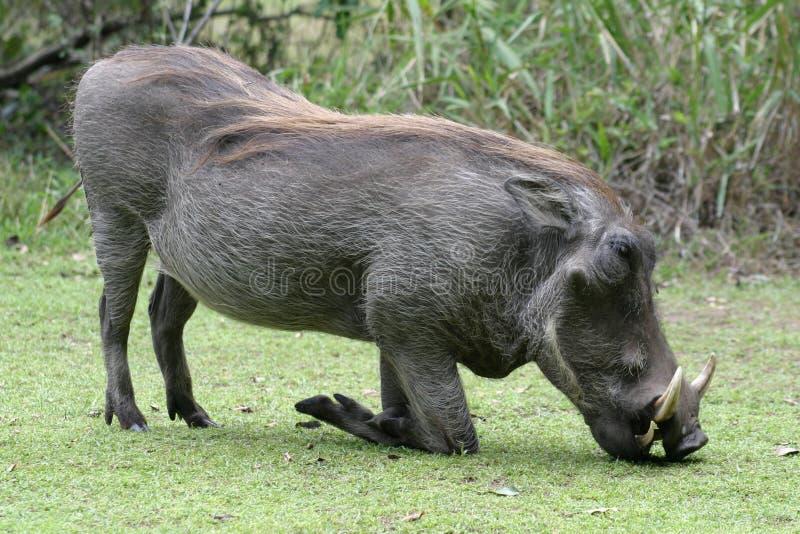 klęczenia warthog fotografia stock