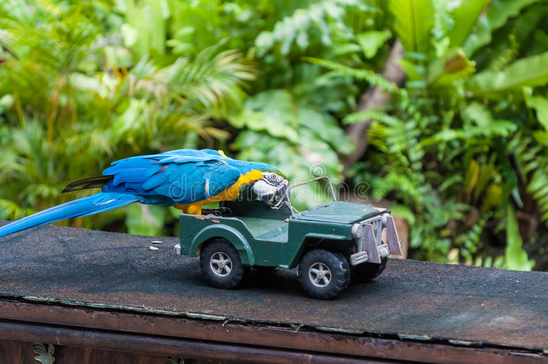 KL Bird Park. A blue and yellow macaw performs a trick involving a toy car at the KL Bird Park in Kuala Lumpur, Malaysia stock image