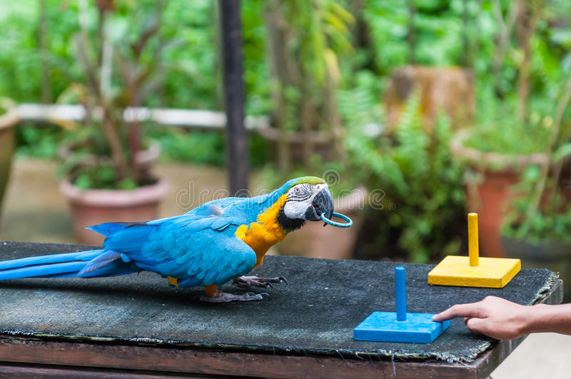 KL Bird Park. A blue and yellow macaw performs a trick at the KL Bird Park in Kuala Lumpur, Malaysia royalty free stock images