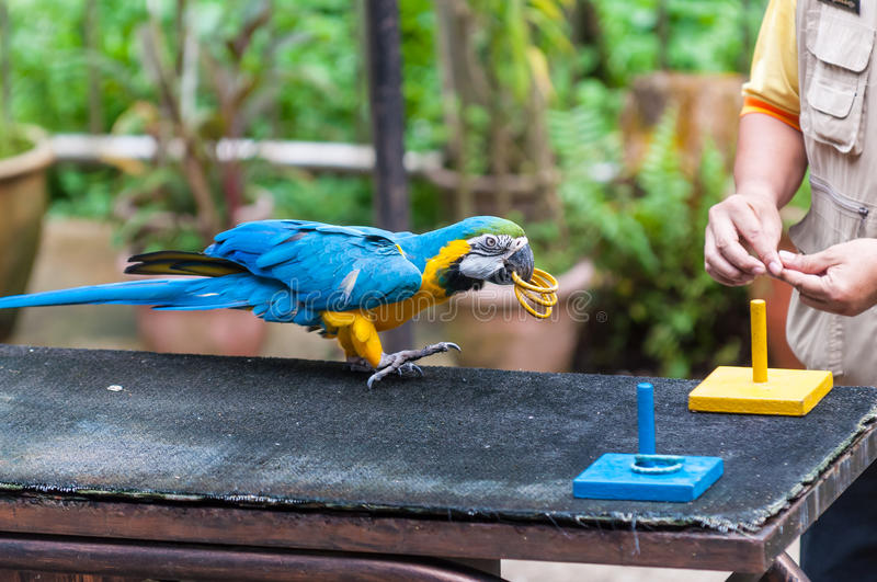 KL Bird Park. A blue and yellow macaw performs a trick at the KL Bird Park in Kuala Lumpur, Malaysia royalty free stock photography